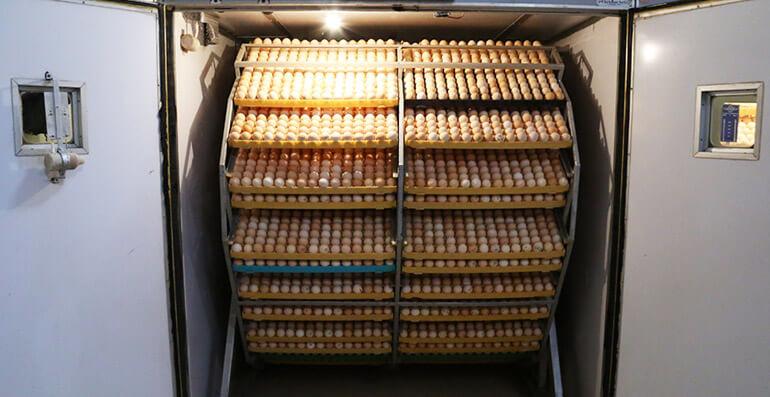 Đảo trứng tự động trong lò ấp trứng